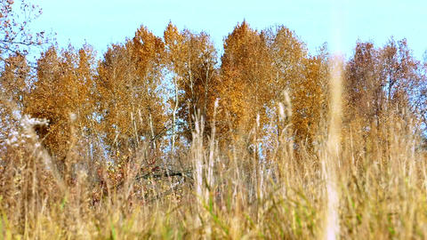 Aspens with yellow leaves sways the autumn wind Footage