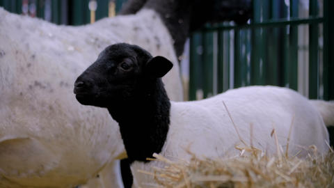 Portrait of cute lamb at agricultural animal exhibition, trade show Footage