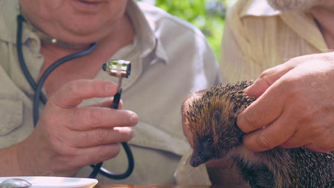 senior citizens examine hedgehog in green garden close Live Action