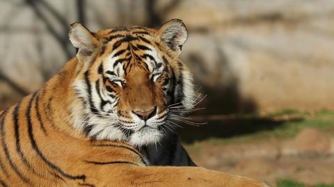 Bengal tiger portrait Stock Video Footage