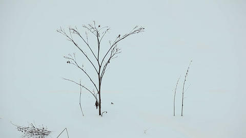Lonely dried plant at snowy field, close up view. Thin bare bush sticking out Footage