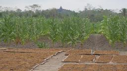 Candi Borobodur, with and dried tobacco,Borobodur,Java,Indonesia Footage