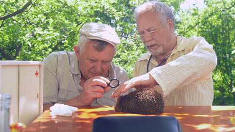 professional aged doctors examine hedgehog health on table Live Action
