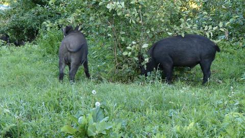 Wild boars eat in garden Live Action