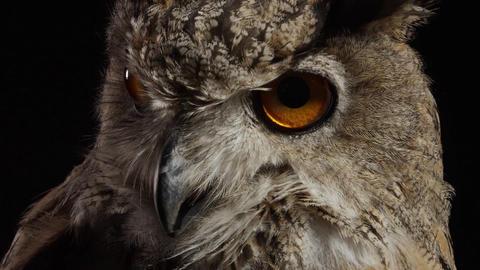 Close up of a scary owl, big bird predator, wildlife Live Action