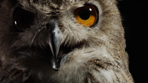 Wildlife, predator bird, close up of a big owl on black background Live Action
