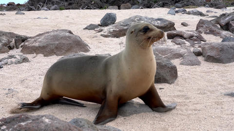 Galapagos sea lion walks rapidly across frame Live Action