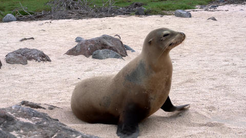 Galapagos sea lion walks from frame Live Action