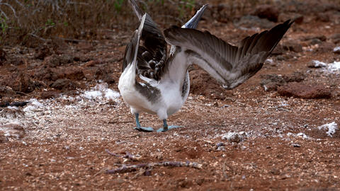 Blue Footed Booby Spreads Wings Live Action