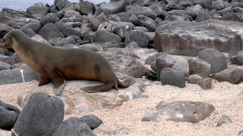 Galapagos sea lion watches camera then walks to the ocean Live Action