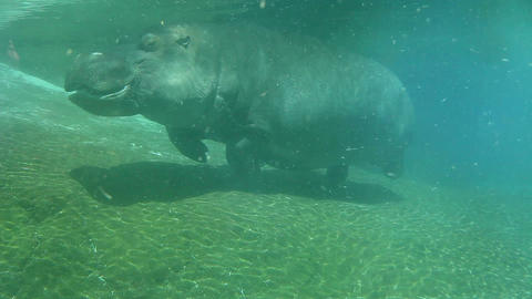 Hippo swimming underwater on sunny day Footage
