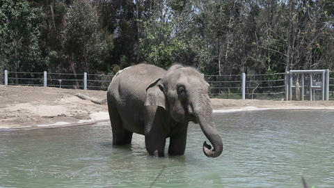 Elephant in water in the zoo Footage