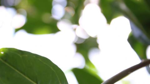 Lemon Tree Footage