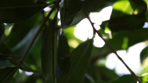 Lemon Tree Stock Video Footage