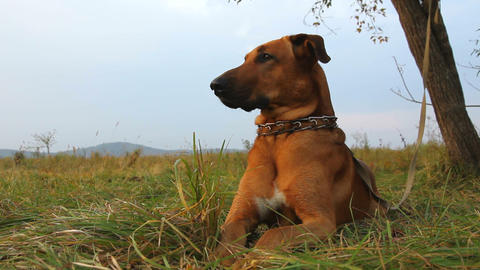 red dog Stock Video Footage