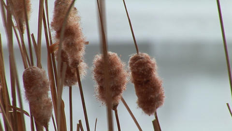 dry reed Stock Video Footage