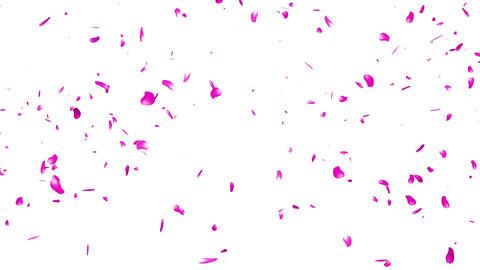 Falling Sakura Petals Cherry Blossoms 1 Stock Video Footage