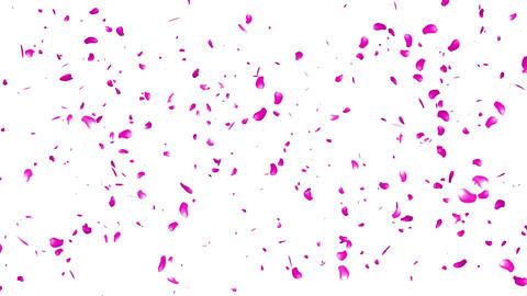 Falling Sakura Petals Cherry Blossoms 2 Stock Video Footage
