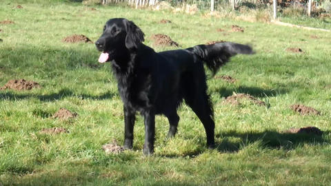 Flatcoated Retriever Stock Video Footage