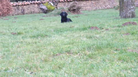Flatcoated Retriever Running Footage