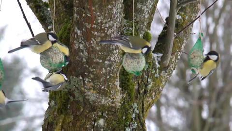 Great Tits Winter Feeding B Stock Video Footage