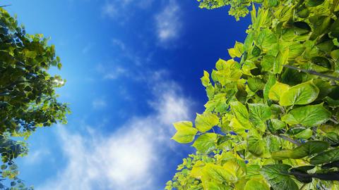 Green foliage against blue sunny sky Footage