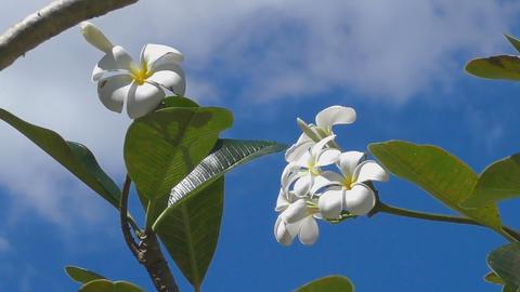 Plumeria flower, blue sky Footage