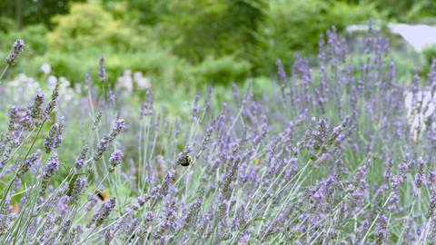 lavender in Syouwakinen park Footage