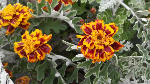 A bed of marigold flowers in the snow Live Action