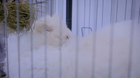 Fluffy white Angora rabbit in the cage at agricultural animal exhibition, market Footage