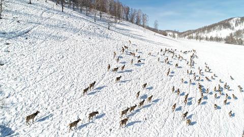 Herd of Wild siberian deer Stock Video Footage