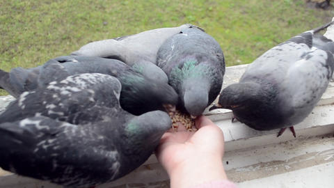 Girl feeding birds doves with hands on home window sill Footage