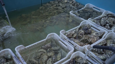 Many high quality fresh oysters of various sizes in the... Stock Video Footage