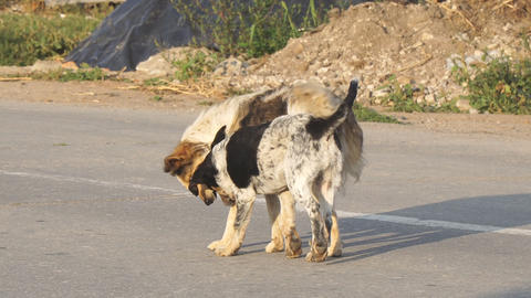Two stray dogs play on asphalt road Live Action