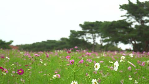 コスモス畑 ライブ動画