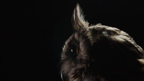 Close up of a big adult owl with long ears and big eyes, low lighting Live Action