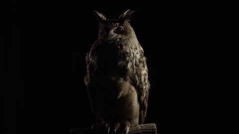 Studio footage of a big adult owl with long ears and big eyes Live Action
