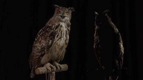 Big grey owl with sharp claws is sitting on a branch and looking around Live Action