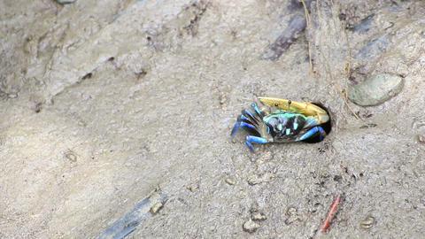 Fiddler Crab in a flood plain in the mangrove plant,Phuket island Thailand.HD vi Footage