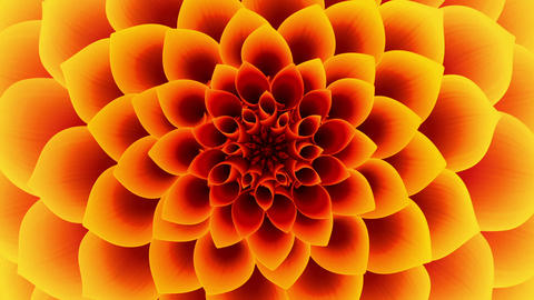 Opening Of The Yellow Flower. Looped Animation
