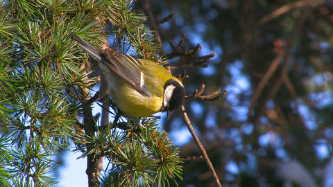 Titmouse on a Tree Stock Video Footage