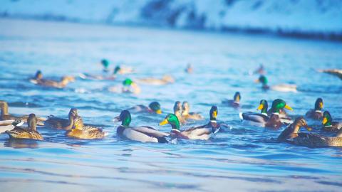 Feeding ducks in the river slowmotion Footage
