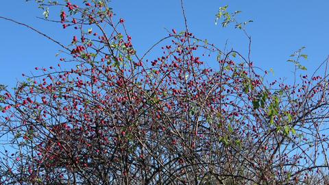 Briar fruit, wild rose hip shrub in nature Live Action