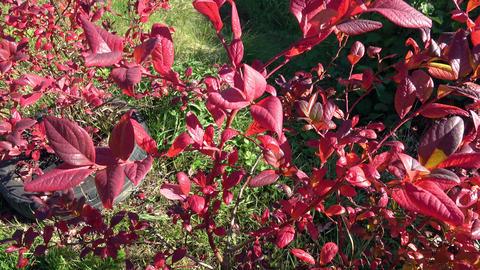 Autumnal highbush blueberry shoots. Leaf colors, red indicate the end of vegetation Live Action