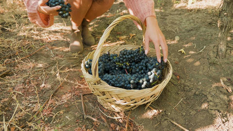 Woman hands placing grapes in a basket Footage