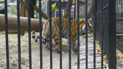 Bengal tiger walks around in a cage 003 Live Action