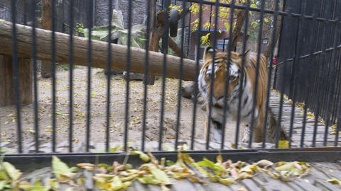 Bengal tiger walks around in a cage 001 Live Action