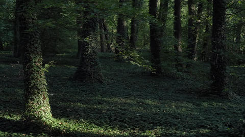 Green forest ivy trees beautiful scenich movement shadows Footage