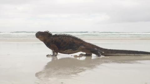 Galapagos Marine Iguana walking on Tortuga bay beach - Iguanas Santa Cruz Island Archivo