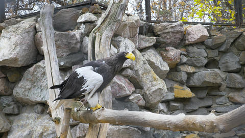 White-shouldered eagle in the aviary 001 Live Action